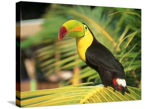Parrot in Bird Park, Bay Islands, Hd-Tom Stillo-Stretched Canvas Print