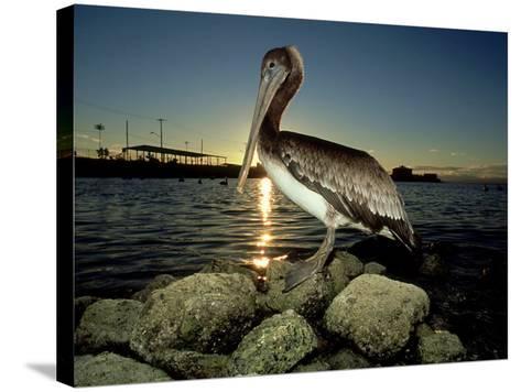 Brown Pelican, Baja California, Mexico-Tobias Bernhard-Stretched Canvas Print