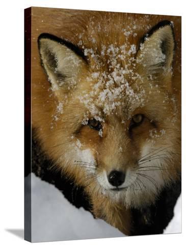 Red Fox, Winter, USA-Daniel J. Cox-Stretched Canvas Print