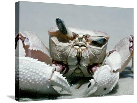 Crab, Shows Independent Eye Movement-Victoria Stone & Mark Deeble-Stretched Canvas Print