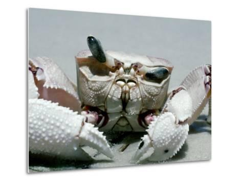 Crab, Shows Independent Eye Movement-Victoria Stone & Mark Deeble-Metal Print