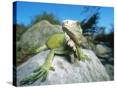 Green Iguana in Stream-Side Natural Habitat, Lambayeque Province, Peru-Mark Jones-Stretched Canvas Print