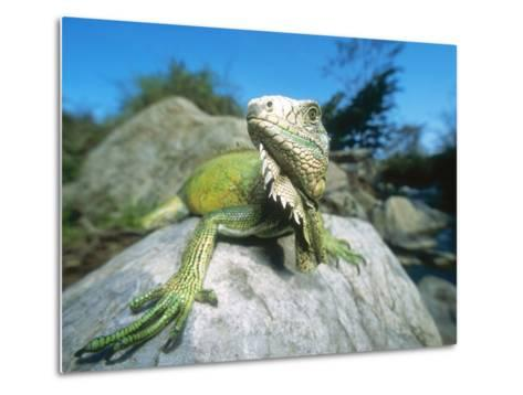 Green Iguana in Stream-Side Natural Habitat, Lambayeque Province, Peru-Mark Jones-Metal Print