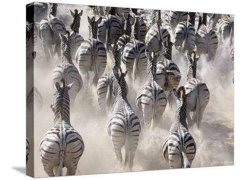 Burchells Zebra, Group Running in Dust, Botswana-Mike Powles-Stretched Canvas Print