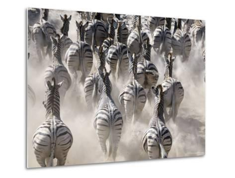 Burchells Zebra, Group Running in Dust, Botswana-Mike Powles-Metal Print