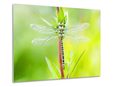 Common Hawker, Newly Emerged Male on Plant, UK-Mike Powles-Metal Print