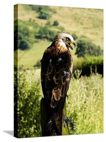 Red Kite, Adult Overlooking Countryside, UK-Mike Powles-Stretched Canvas Print