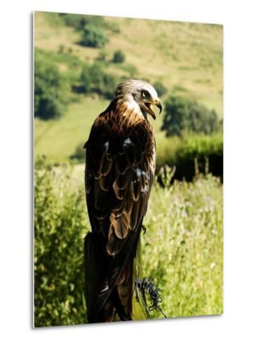 Red Kite, Adult Overlooking Countryside, UK-Mike Powles-Metal Print