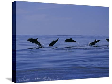 Striped Dolphins, Porpoising, Azores, Portugal-Gerard Soury-Stretched Canvas Print