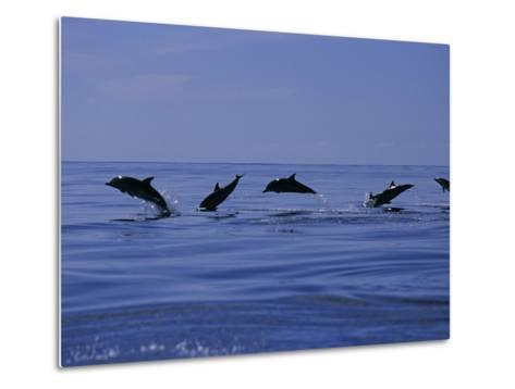 Striped Dolphins, Porpoising, Azores, Portugal-Gerard Soury-Metal Print