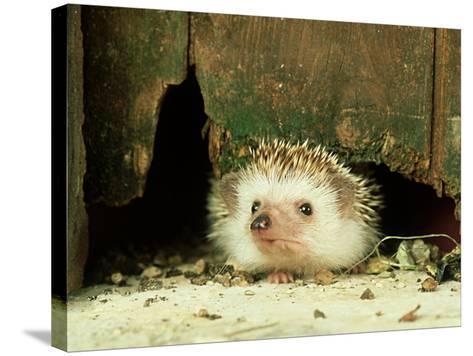 Four-Toed Hedgehog, England, UK-Les Stocker-Stretched Canvas Print
