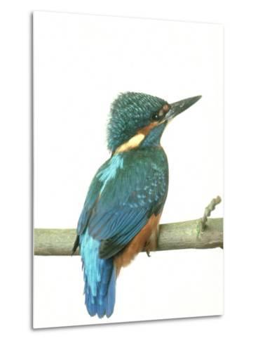 Kingfisher, Aylesbury, UK-Les Stocker-Metal Print