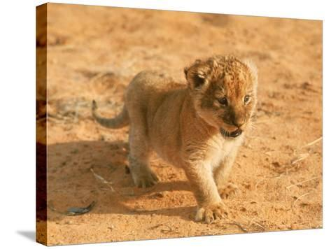 Lion Cub in Africa-John Dominis-Stretched Canvas Print