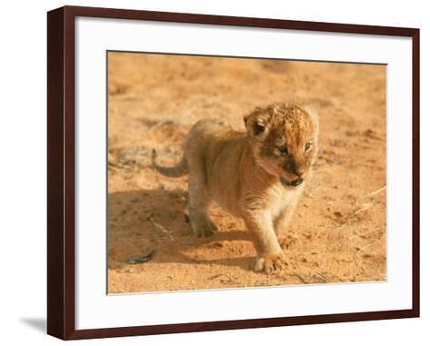 Lion Cub in Africa-John Dominis-Framed Art Print