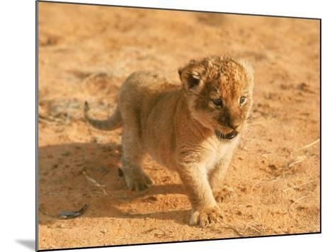 Lion Cub in Africa-John Dominis-Mounted Photographic Print
