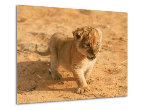 Lion Cub in Africa-John Dominis-Metal Print