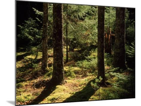 Moss Spruce Trees, Acadia National Park, ME-Eric Horan-Mounted Photographic Print