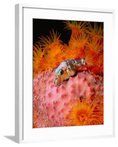 Sharp Nosed Puffer on Sponge-Mike Mesgleski-Framed Art Print