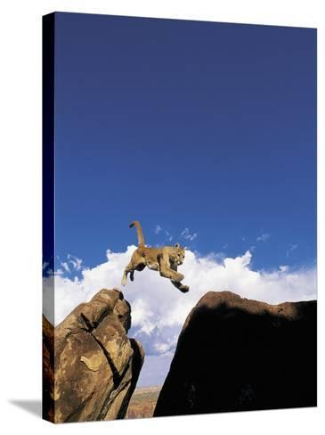 Mountain Lion Leaping, Southwest US-Amy And Chuck Wiley/wales-Stretched Canvas Print
