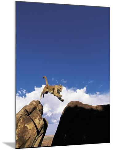 Mountain Lion Leaping, Southwest US-Amy And Chuck Wiley/wales-Mounted Photographic Print