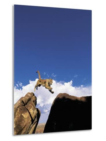Mountain Lion Leaping, Southwest US-Amy And Chuck Wiley/wales-Metal Print