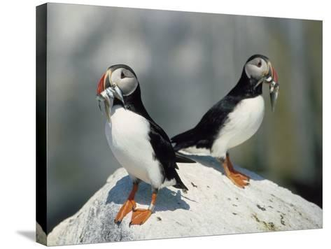 Atlantic Puffins with Fish, Machais Sea Island, ME-David White-Stretched Canvas Print