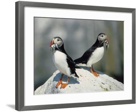 Atlantic Puffins with Fish, Machais Sea Island, ME-David White-Framed Art Print