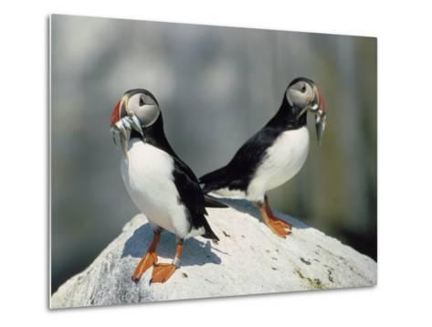 Atlantic Puffins with Fish, Machais Sea Island, ME-David White-Metal Print