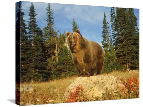 Grizzly Bear on Rock in Grassy Field, MT-Guy Crittenden-Stretched Canvas Print