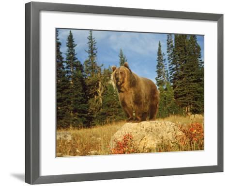 Grizzly Bear on Rock in Grassy Field, MT-Guy Crittenden-Framed Art Print