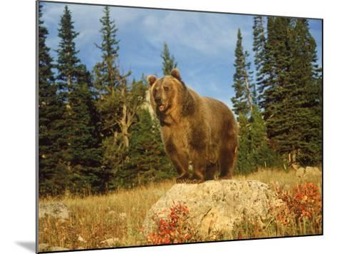 Grizzly Bear on Rock in Grassy Field, MT-Guy Crittenden-Mounted Photographic Print