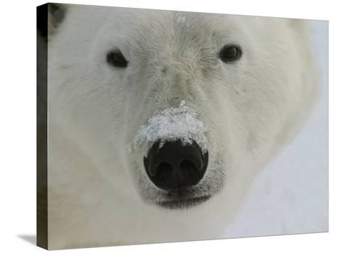 Polar Bear, Ursus Maritimus, Churchill, Manitoba-Yvette Cardozo-Stretched Canvas Print