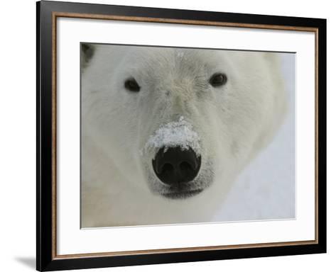 Polar Bear, Ursus Maritimus, Churchill, Manitoba-Yvette Cardozo-Framed Art Print