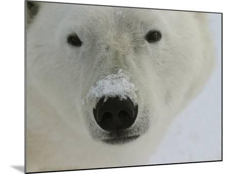 Polar Bear, Ursus Maritimus, Churchill, Manitoba-Yvette Cardozo-Mounted Photographic Print