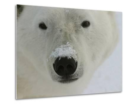 Polar Bear, Ursus Maritimus, Churchill, Manitoba-Yvette Cardozo-Metal Print