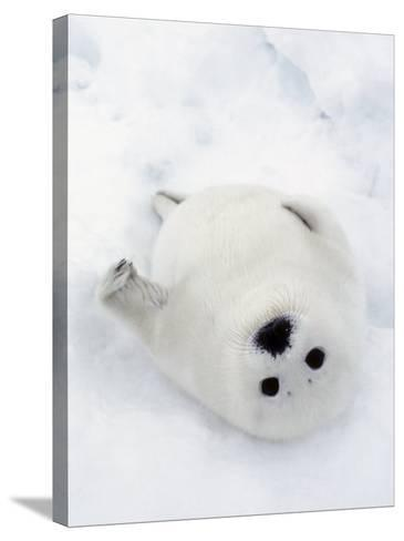 Harp Seal, Pup in Favorite Position on Its Back on Ice Pack, Nova Scotia, Canada-Daniel J. Cox-Stretched Canvas Print