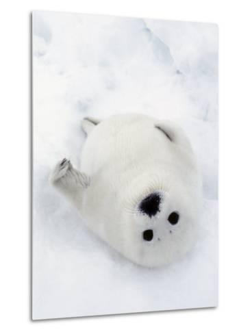 Harp Seal, Pup in Favorite Position on Its Back on Ice Pack, Nova Scotia, Canada-Daniel J. Cox-Metal Print