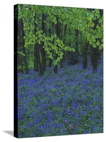 Bluebells, En Masse in Beech Woodland, UK-Mark Hamblin-Stretched Canvas Print