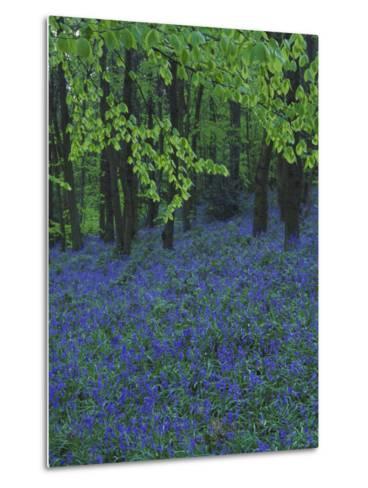 Bluebells, En Masse in Beech Woodland, UK-Mark Hamblin-Metal Print