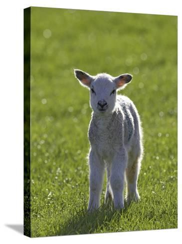 New-Born Lamb in Spring, Scotland-Mark Hamblin-Stretched Canvas Print