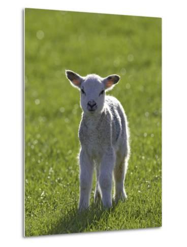 New-Born Lamb in Spring, Scotland-Mark Hamblin-Metal Print