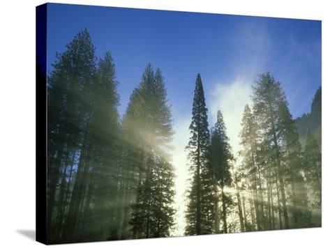 Lightbeams Streaming Through Pine Trees at Sunrise, Yosemite National Park, CA-Adam Jones-Stretched Canvas Print