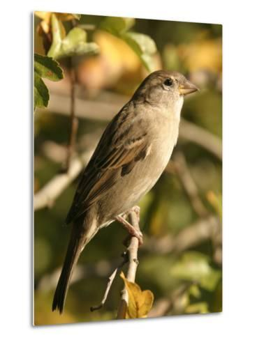 House Sparrow, Male Perching, Middlesex-Elliot Neep-Metal Print
