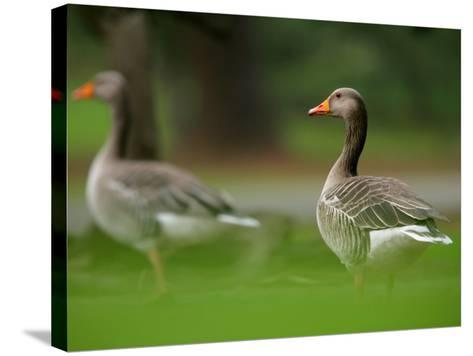 Greylag Goose, Pair of Greylag Geese Side-By-Side in Green Haze of Vegetation, London, Britain-Elliot Neep-Stretched Canvas Print