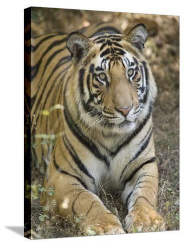 Bengal Tiger, Portrait of Male Tiger, Madhya Pradesh, India-Elliot Neep-Stretched Canvas Print
