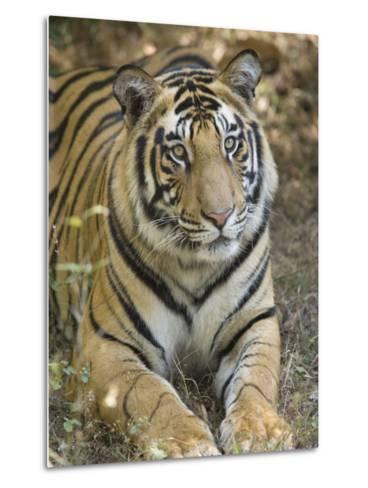 Bengal Tiger, Portrait of Male Tiger, Madhya Pradesh, India-Elliot Neep-Metal Print