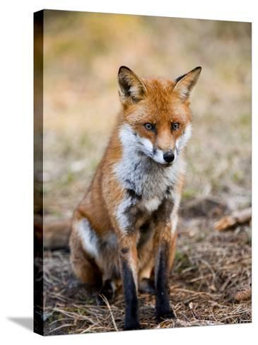 Red Fox, Sitting in Pine Needles, Lancashire, UK-Elliot Neep-Stretched Canvas Print