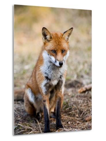 Red Fox, Sitting in Pine Needles, Lancashire, UK-Elliot Neep-Metal Print