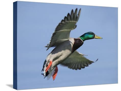 Mallard in Flight, Lake Geneva, Switzerland-Elliot Neep-Stretched Canvas Print