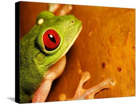 Red-Eyed Tree Frog, Close-up of Head and Front Feet, Costa Rica-Roy Toft-Stretched Canvas Print
